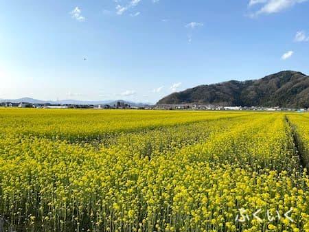 鯖江 菜の花